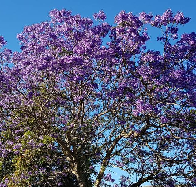 I love Spring spring capetown southafrica watercrisis bluesky sunny purplehellip