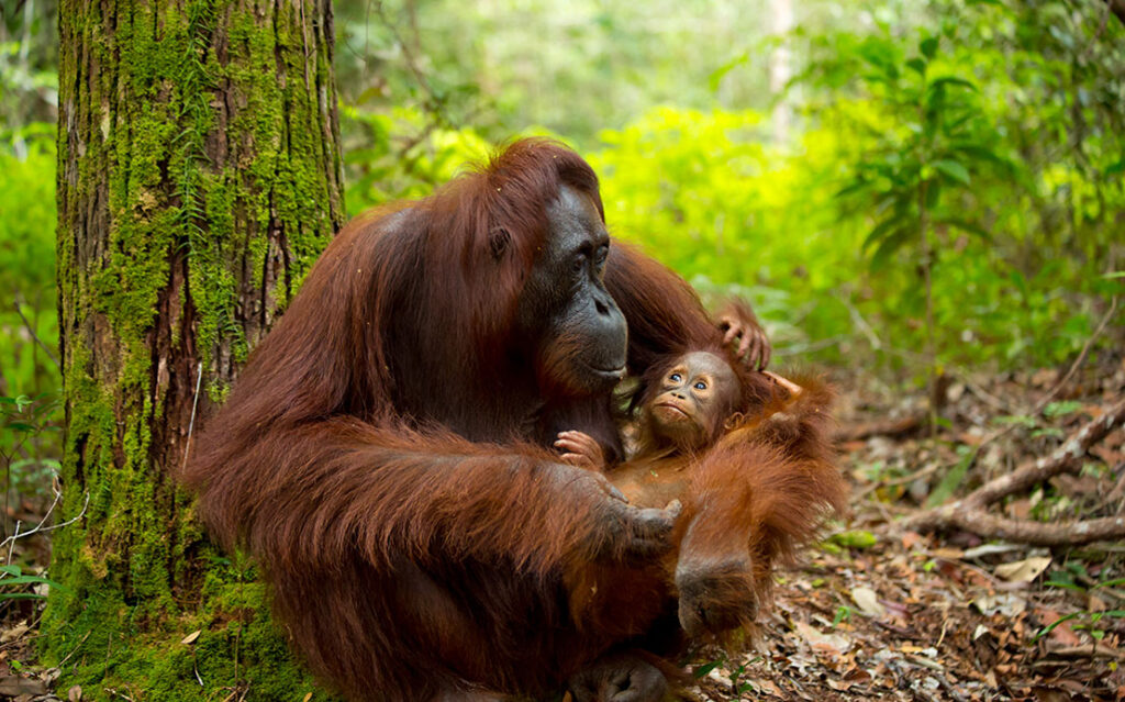 Orangutans In The Malaysian Borneo